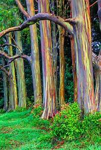 PACIFIC MADRONE TREE IMAGES | madrone prints available a ...