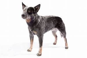 Australian Cattle Dog Dog Breed Information