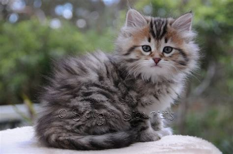 wonderful siberian cat pictures  images