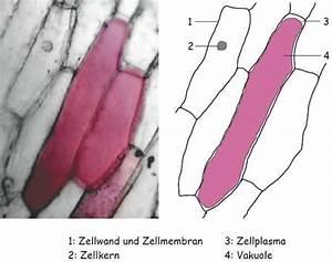 Aufbau Der Zwiebel : zwiebelzellen ~ Lizthompson.info Haus und Dekorationen