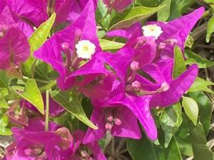 Bougainvillea Blüht Nicht : sch nheiten aus dem garten eden zierpflanzen in der ~ Lizthompson.info Haus und Dekorationen