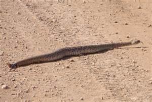 Western Diamondback Rattlesnake vs Mojave
