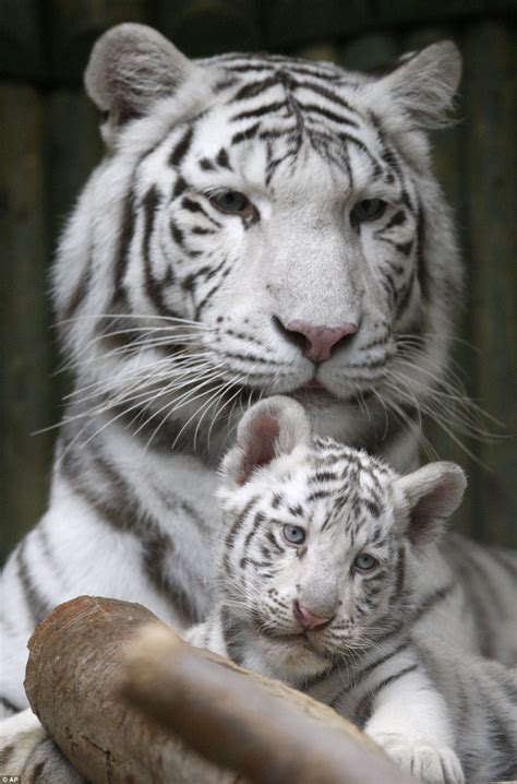 baby tiger white white bengal tiger triplets born in zoo liberec in