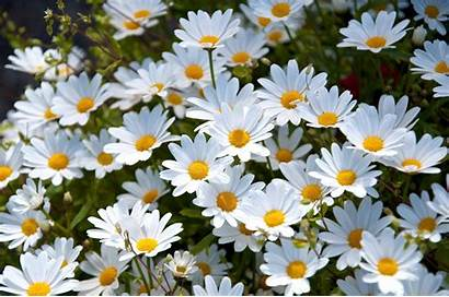 Daisy Backgrounds Wallpapers