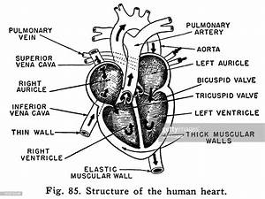 Diagram Of Heart Stock Illustration