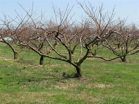 Kentucky Home Gardens Pruning Fruit Trees