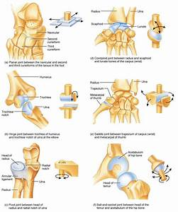 Joints Of The Body Have You Ever Wondered How Many Joints You Have In Your Body  Or Maybe You
