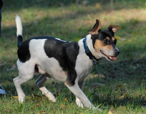 rat terrier hair shedding sonny morris county and denville nj parks