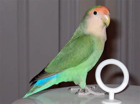 Rosy-faced Lovebird Colour Genetics