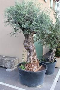 Gros Pot Pour Olivier : olea europea olivier aubagne dans les bouches du rh ne p pini re et jardinerie sur aubagne ~ Melissatoandfro.com Idées de Décoration