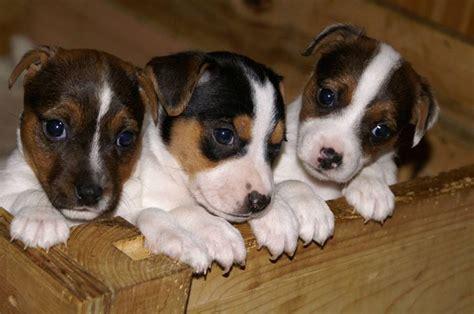 jack russell zampa corta cani taglia piccola cani