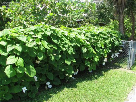fast growing fence cover plantfiles pictures thunbergia bengal clock vine white sky vine alba thunbergia