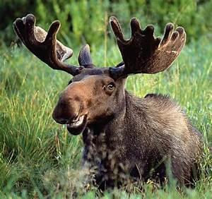 Moose | Animal Wildlife