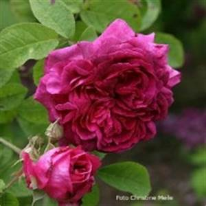 Alte Rosensorten Stark Duftend : rosensorten duftrosen no noack s bl hendes barock ~ Michelbontemps.com Haus und Dekorationen