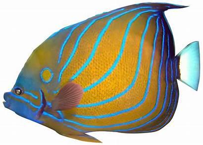 Fish Tropical Clip Clipart Transparent Angel Ocean
