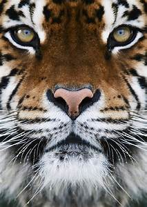 Bengal Tiger Quotes. QuotesGram