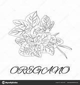 Spices Herbs Coloring Pages Para Oregano Colorear Hierbas Especias sketch template