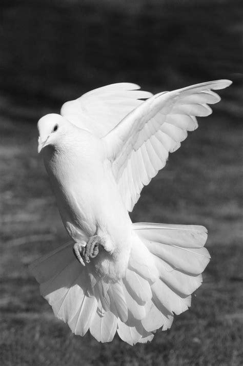 Image result for landing dove   n   White doves, Dove bird