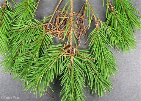 douglas fir swiss needle cast cooperative extension