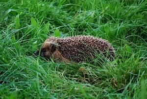 Igel Im Garten : igel rennen tags ber im garten herum wir sind im garten ~ Lizthompson.info Haus und Dekorationen