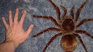 World's Largest Known Spider (bird-eating Spider ...