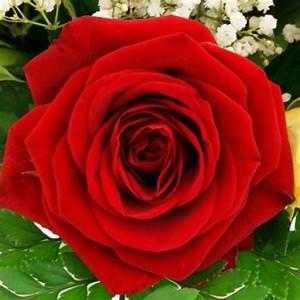 Gelb Rote Rosen Bedeutung : blumenversand mit pr chtigen rosen rosenstr u en und rosent pfen blumenversand ~ Whattoseeinmadrid.com Haus und Dekorationen