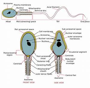 Complete Diagram Of A Human Spermatozoa Clip Art At Clker