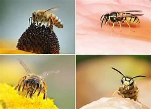 Bienen Und Wespen : unterschiede zwischen bienen und wespen bee careful ~ Whattoseeinmadrid.com Haus und Dekorationen