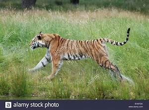 Bengal tiger running through grass tail in air Stock Photo ...