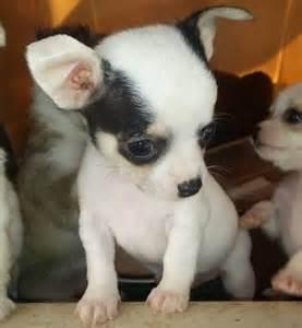 Teacup Applehead Chihuahua Puppies
