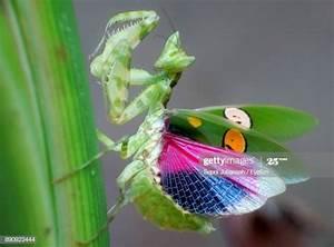 Praying Mantis Premium Pictures, Photos, & Images - Getty ...