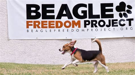 video   sniff  freedom  beagles rescued