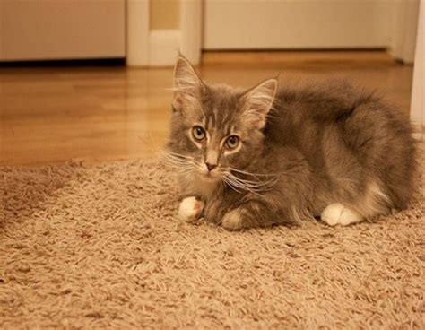 Cat Odor In Carpet by How To Get Cat Urine Smell Out Of A Carpet Kravelv