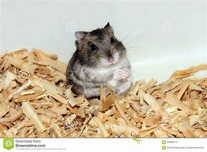 Cute Hamster In Sawdust Wooden House Stock Photo - Image ...