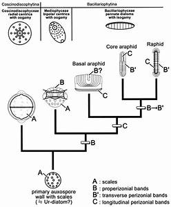 Summary Of The Phylogeny Of The Diatoms Using The