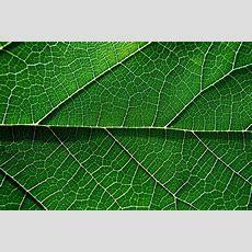 Venas De Una Hoja  Javier Morales Flickr