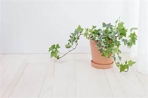 Efeu Als Zimmerpflanze : efeu als zimmerpflanze wie giftig ist er ~ Indierocktalk.com Haus und Dekorationen