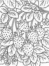 Coloring Strawberry Berries Printable Mycoloring Fruits Recommended sketch template