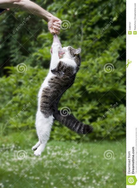 cat hanging   raw turkey leg stock image image