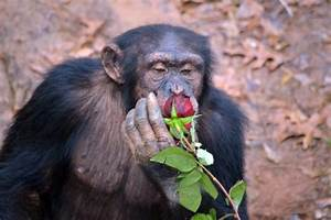 Chimp Haven Is Home To The Largest Groups Of Chimps In America