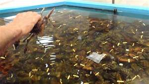 Tank full of Maritime Lobsters - YouTube