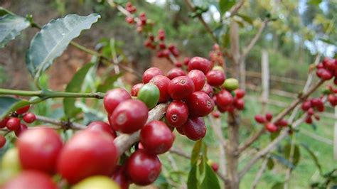 Help rwandan coffee farmers rebuild after floods & landslides. Govt in renewed effort to increase coffee production | The ...
