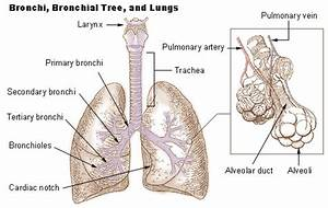 Bronchi  Bronchial Tree   U0026 Lungs