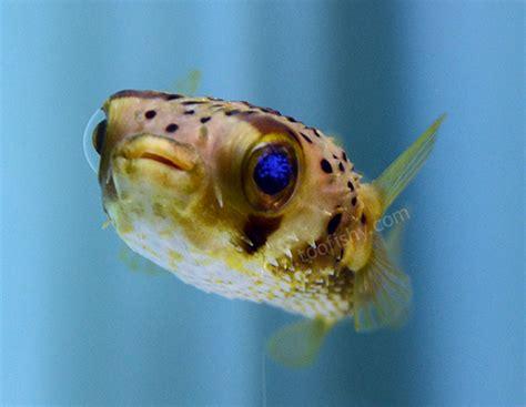 fishy aquarium livestock fish spiny box