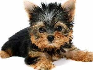 Yorkshire Cute Black And Brown Puppy Wallpaper 1024x768 ...