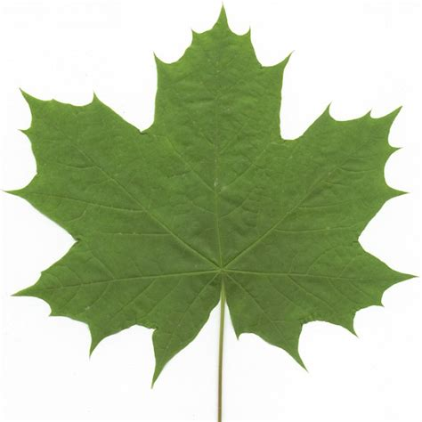maple tree leaves differences between hard maple and soft maple the wood database