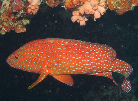 rock cod grouper coral maldives vermilion fish cruises