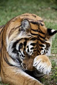 Bengal Tiger Rubbing Face | ClipPix ETC: Educational ...