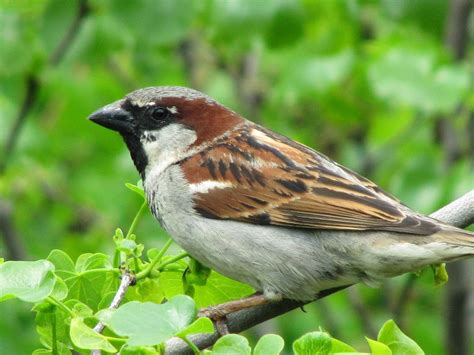 lovable images cute sparrow wallpapers hd free download