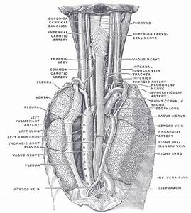 Lungs  Muscle And Gray On Pinterest